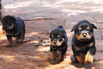 Chiots, Rottweilers, Pitbul et Bergers A