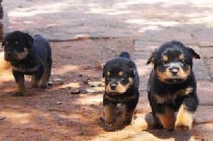 Chiots, Rottweilers, Pitbul et Bergers A